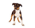 Mixed Large Breed Puppy Standing Royalty Free Stock Photo