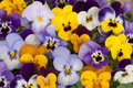 Mixed pansies in garden colored Royalty Free Stock Photography