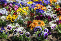 Mixed pansies in the garden, seasonal natural scene Royalty Free Stock Photo