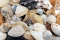 Mixed seashells from atlantic beach Royalty Free Stock Photo