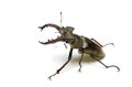 Miyama stag beetle Royalty Free Stock Photo