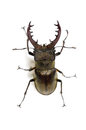 Miyama stag beetle Royalty Free Stock Images
