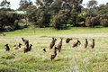 Mob of Australian Brown Kangaroos Royalty Free Stock Photo