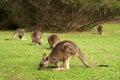 Mob of kangaroos a eastern grey feeding on grasses australian marsupial Stock Photos