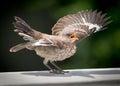 Mocking bird fledgling. Royalty Free Stock Photo