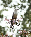 Mocking bird posing in a tree in my backyard Royalty Free Stock Images
