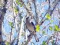 Mocking Bird On a Tree Limb Stock Image