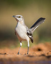 Mockingbird Stock Photos