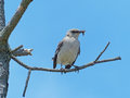 Mockingbird with grasshopper prey sitting on a branch a Stock Image