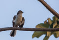 Mockingbird with open wings a bahama mimus gundlachii perches on a branch Stock Photography
