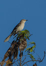 Mockingbird perched on top of a tree northern mimus polyglottos perches to control it s territory in the island cuba Stock Photography