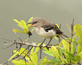 Mockingbird screeching florida loudly on top of a tree Royalty Free Stock Image