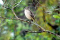 Mockingbird on tree branch with leafy green background Stock Image