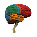 Model human brain all parts Stock Image