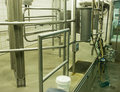 Modern Dairy Farm Cow Milking Stall Royalty Free Stock Images