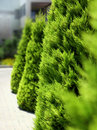 Modern garden concept green cedar trees pavement Royalty Free Stock Image
