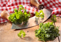 Modern herb cutter wiegemes with wooden handles with clumps of parsley against a red gingham cloth Stock Photography