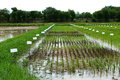 Modify the farm experiences rice transplant seedlings various kinds in same for breed Royalty Free Stock Photo