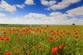 Mohnblume bl�ht gegen die blauer Himmel-/Sommerwiese Stockbild
