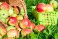 Moisson des pommes pendant l automne Photographie stock