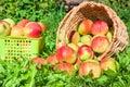 Moisson des pommes pendant l automne Photographie stock libre de droits