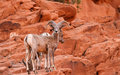 Mojave desert big horn sheep ram and ewes on red rock Stock Photo