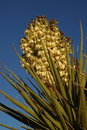 Mojave Yucca Stock Photography