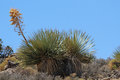 Mojave Yucca Royalty Free Stock Photo