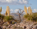 Mojave Yucca (Yucca schidigera) and a dead tree Royalty Free Stock Photo