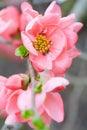 A mola floresce o macro com flor cor de rosa Fotos de Stock