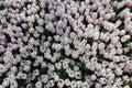 Mola tulip flowers background campo de tulip flovers em um festival de mola Fotografia de Stock