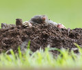 Mole creating digging a molehill Stock Photos