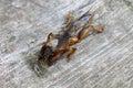 Mole cricket closeup Royalty Free Stock Photo