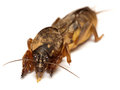 Mole cricket closeup gryllotalpa gryllotalpa looking at you face to face shot of pest insect Stock Photo