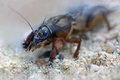 Mole cricket macro close up shot Stock Photo