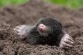 Mole a in the garden Royalty Free Stock Photography
