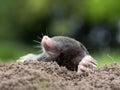 Mole a in the garden Stock Photography