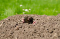 Mole snout and claws sticking out of the molehill powdery Stock Photo
