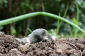 Mole in a soil Stock Photo