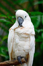 Mollucan cockatoo beautiful pale pink cacatua moluccensis standing on a branch Royalty Free Stock Photography