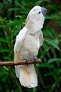Mollucan cockatoo beautiful pale pink cacatua moluccensis standing on a branch Royalty Free Stock Image