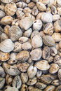 Molluscs marine double leaf Royalty Free Stock Photography