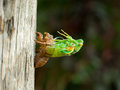 Molting Cicada Royalty Free Stock Photo