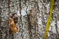 Molting cicada Royalty Free Stock Photo