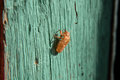 Molting of cicada on wood wall, cicada molting Royalty Free Stock Photo