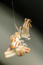 Molting crab spider out of it s old exoskeleton shell Royalty Free Stock Photo