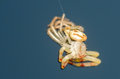 Molting crab spider out of it s old exoskeleton shell Stock Image