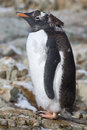 Almost molting gentoo penguins standing on a rock Royalty Free Stock Image