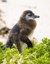 Molting Penguin Chick Royalty Free Stock Photo