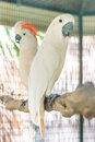 Moluccan cockatoo two standing on perch Stock Images